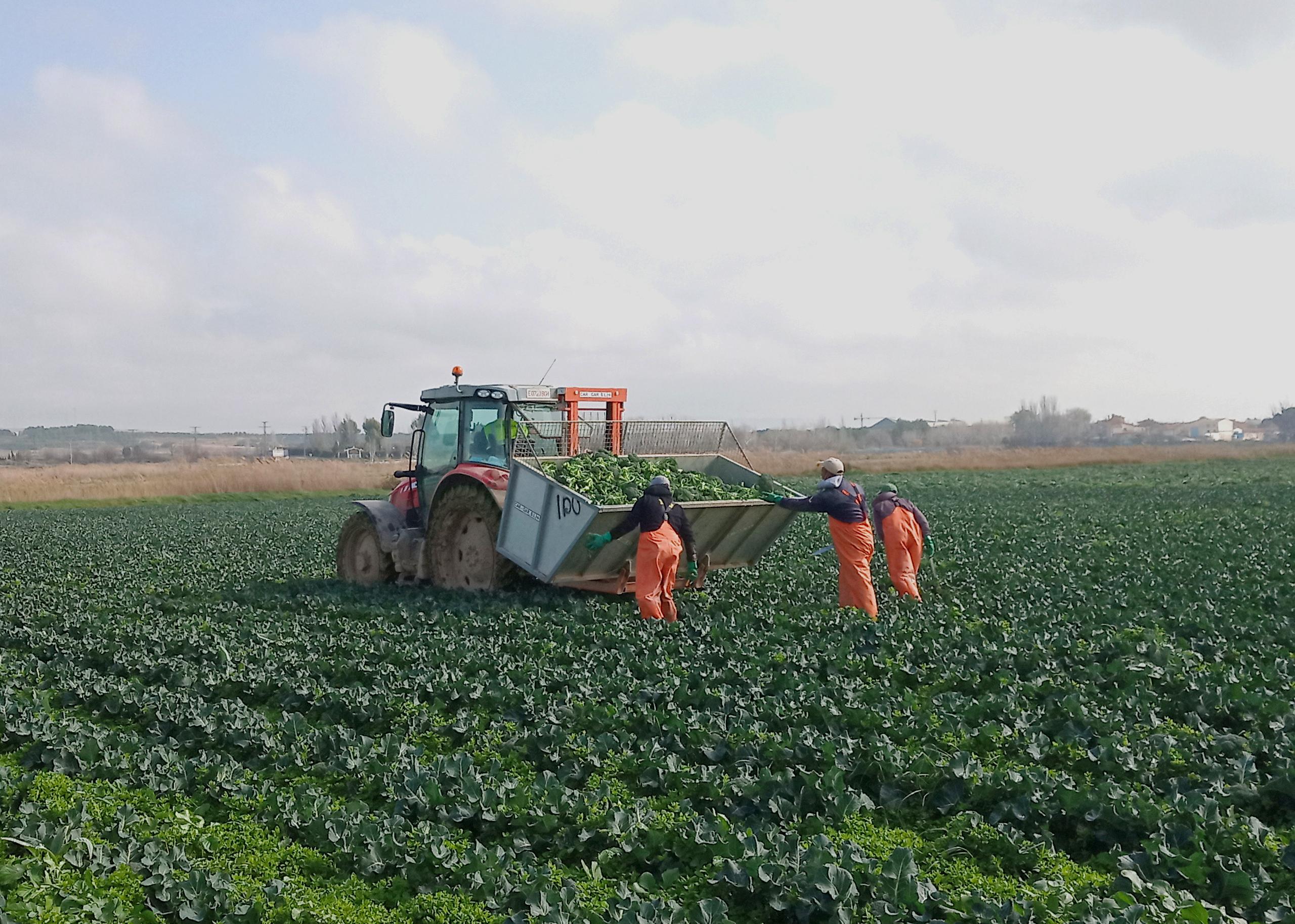 Recogida de bróculi en un campo de Cabanillas, Navarra