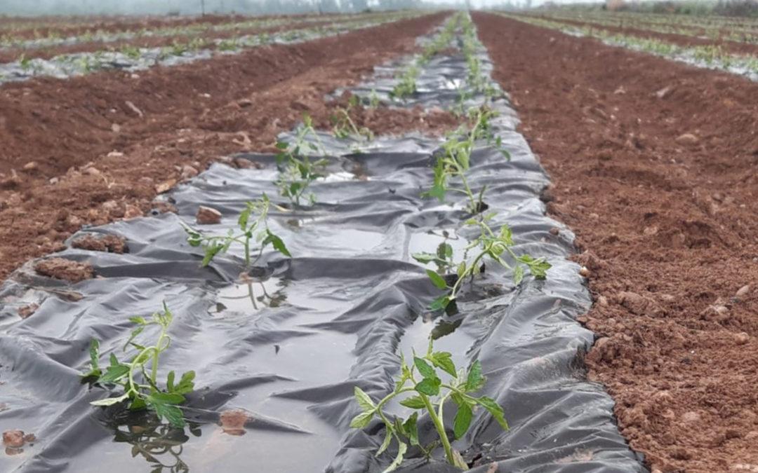 El Grupo AN realiza ensayos para sustituir el plástico en el cultivo de tomates, pimientos y alcachofas