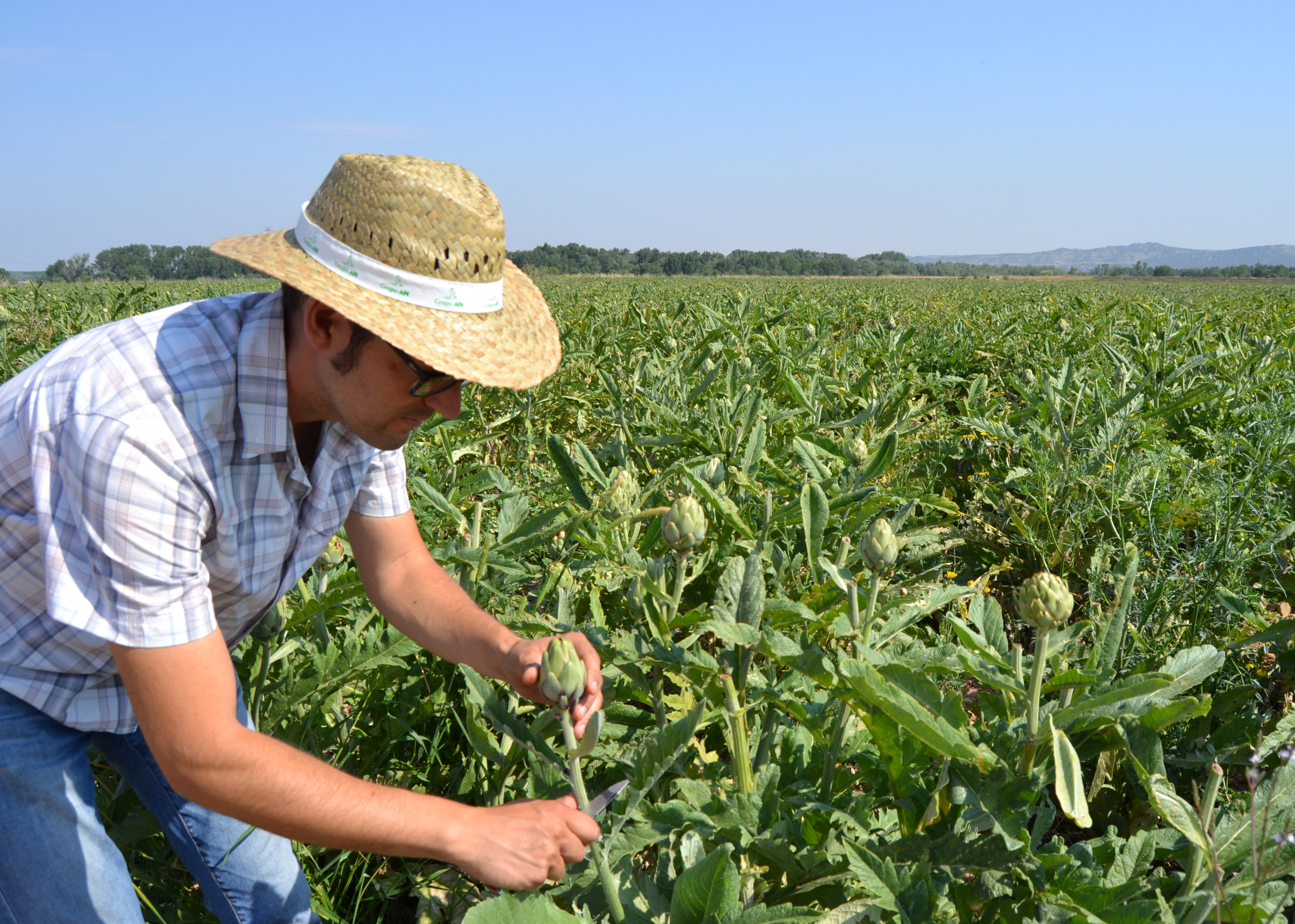 Agricultor recogiendo alcachofa en campo
