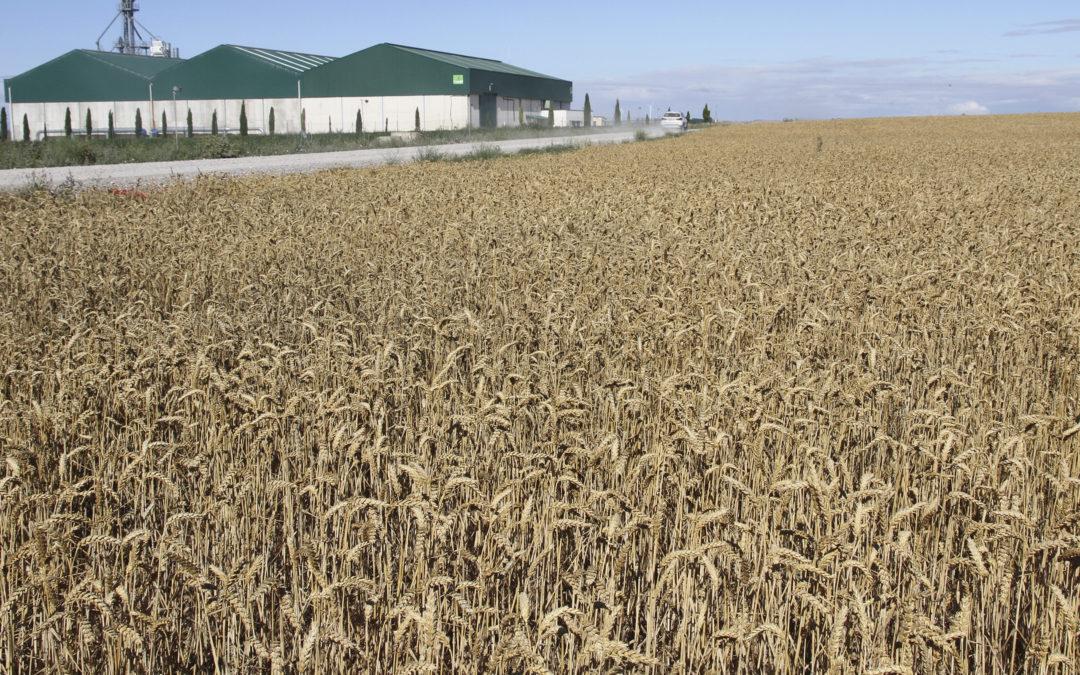 La cosecha de cereal, a pleno rendimiento