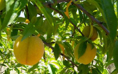 Buena calidad, pero menor producción de frutas de hueso
