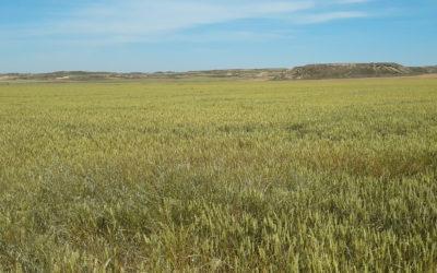 Un compromiso con el trigo sostenible