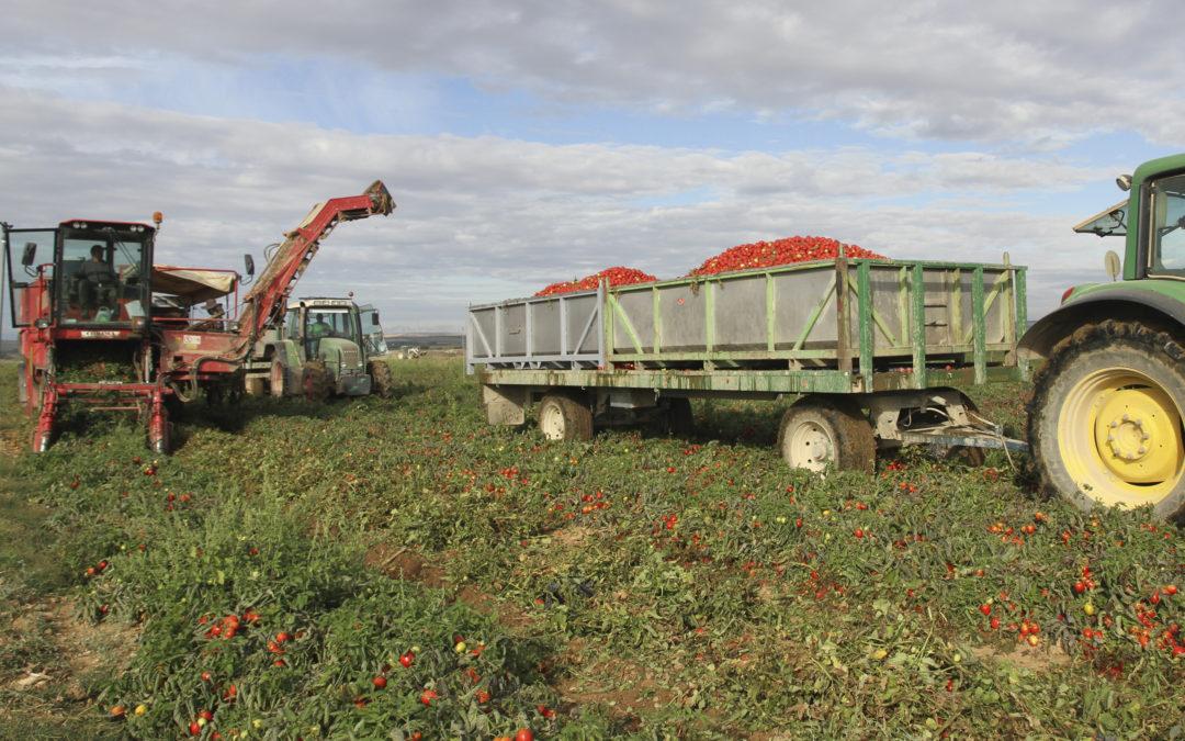Las campañas hortícolas del final del verano: tomate y pimiento