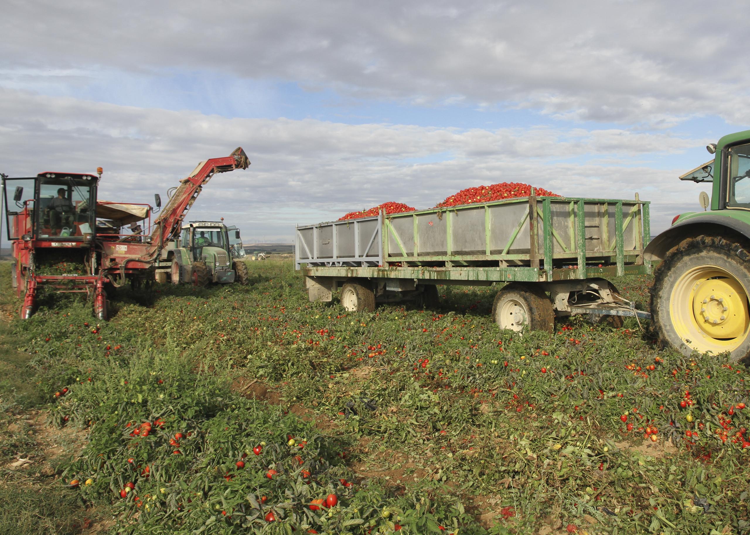Recoleccion de tomate en Beire