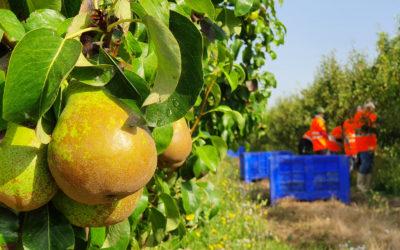 La pera, la fruta de pepita con mayor producción dentro del Grupo AN